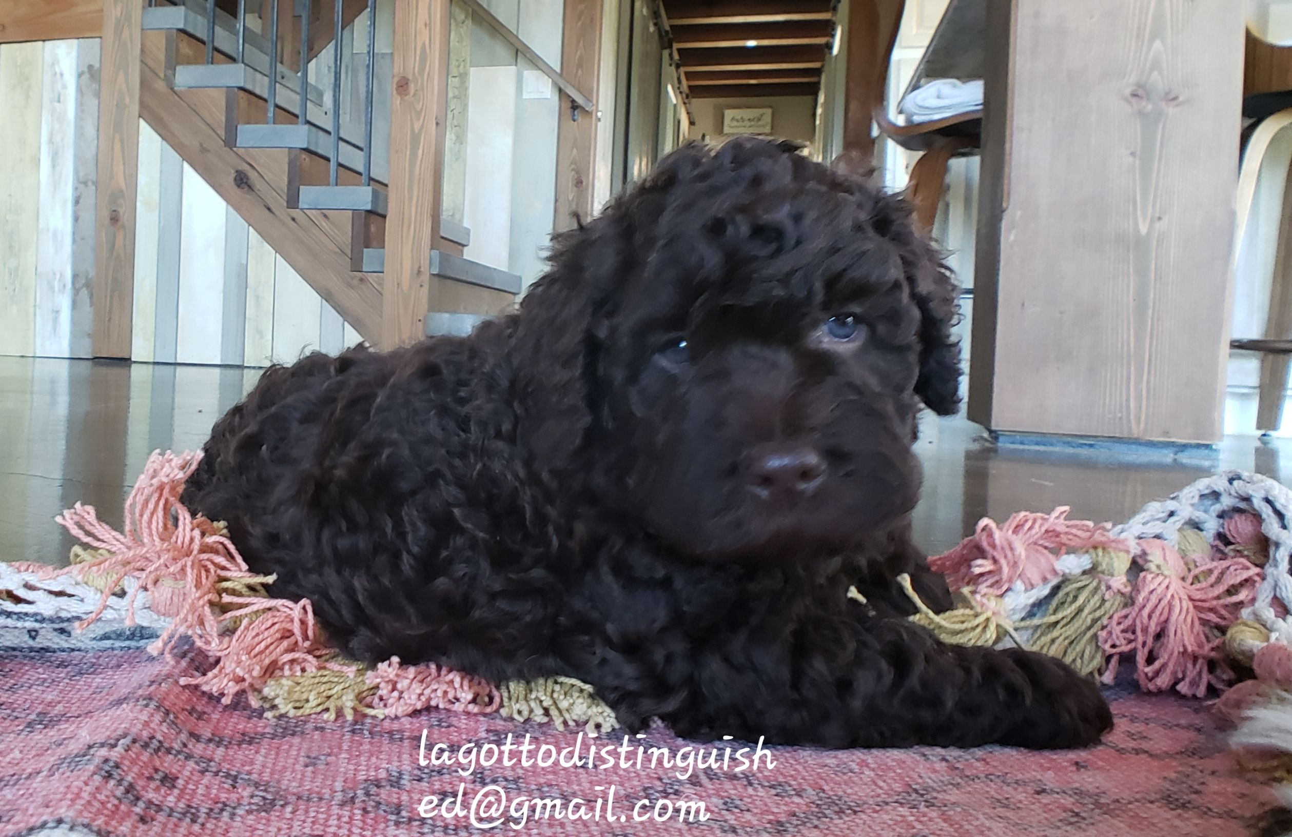 Lagotto Puppies For Sale Puppies Puppies For Sale Rare Breed