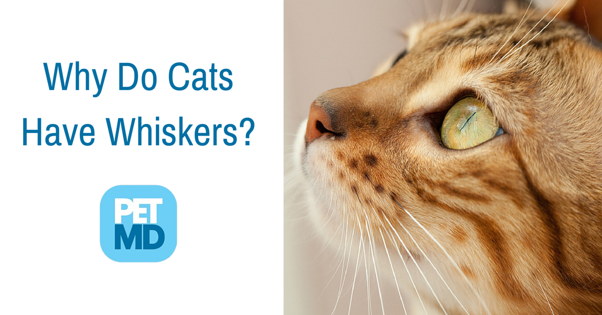 Did You Know That Cats Also Have Whiskers On Their Jaw Line And On The Back Of Their Front Legs Learn More About Them