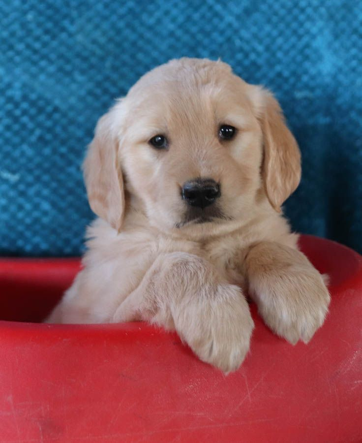 Sweet Goldenretriever Goldenretrieverpuppiesmiddlesbrough