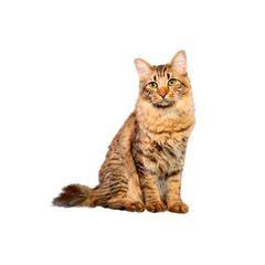 most vocal cat breeds  american bobtail cat cat breeds