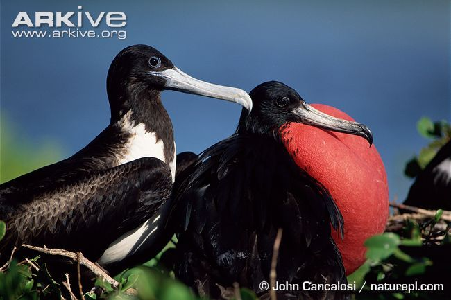 Magnificent frigatebird male courting a female -- Frigatebirds are the only seabird family that have obvious, significant differences in plumage between the sexes. The male magnificent frigatebird has entirely black plumage, glossed green on the head and purple on the upperwings and back, and possesses a bare patch of skin on the lower neck, known as the gular sac.