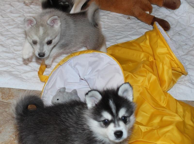 Alaskan Klee Kai Puppies For Sale Pittsburgh Pa Alaskan Klee