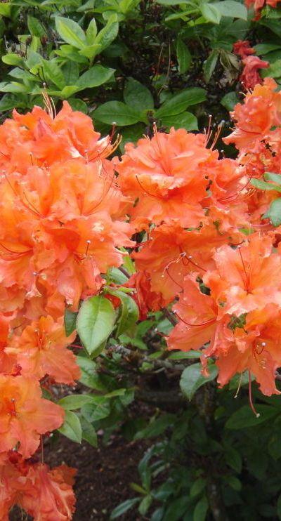 "Rhododendrons  ""Rho-dod-de-drons"""