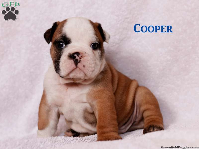 Cooper English Bulldog Puppy For Sale In Shippensburg Pa With