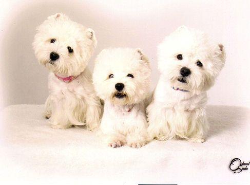 Puppies For Sale West Highland White Terriers Westies In Crystal Beach Florida Westies West Highland Terrier West Highland White Terrier