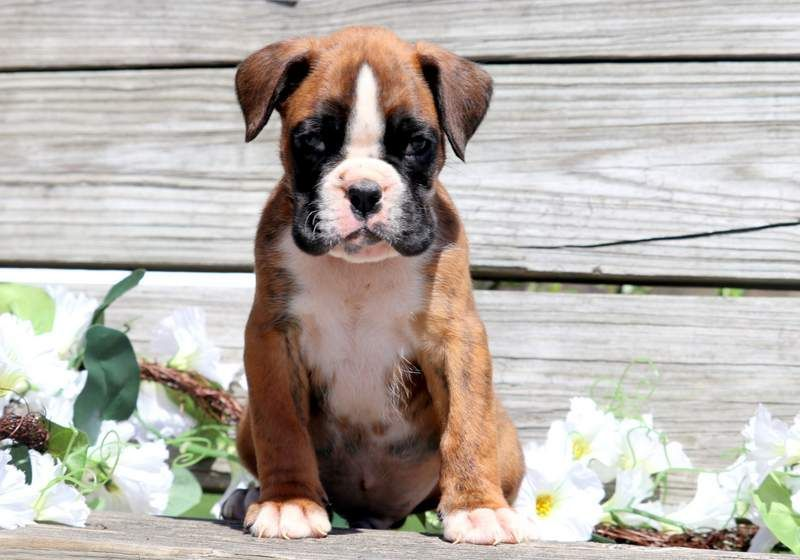 Cooper keystone puppies puppies for sale health