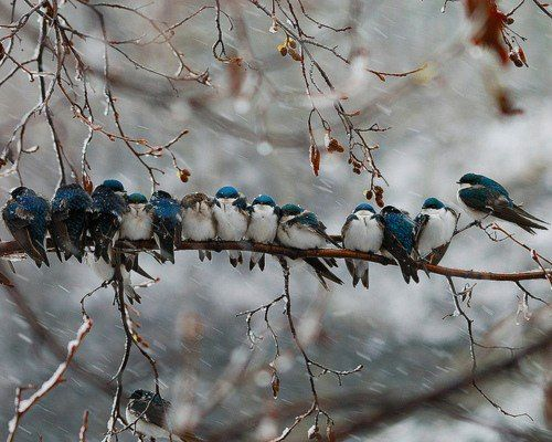 Blue Birds on the Branch