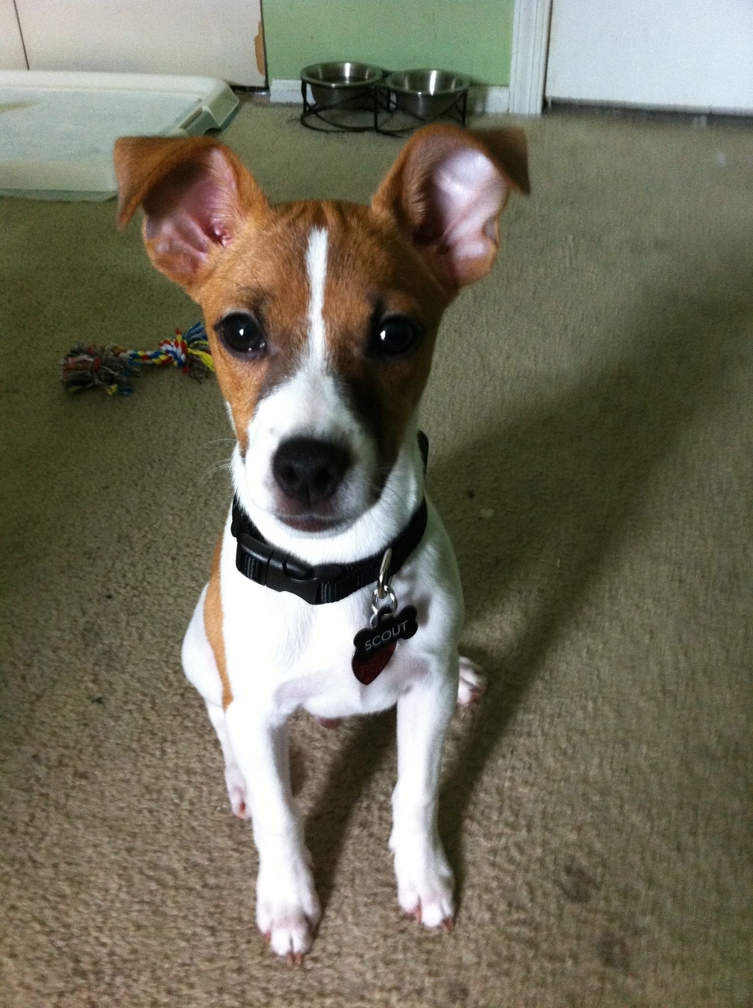 Jack Russell Toy Fox Terrier Jack Russell Fox Terrier Toy