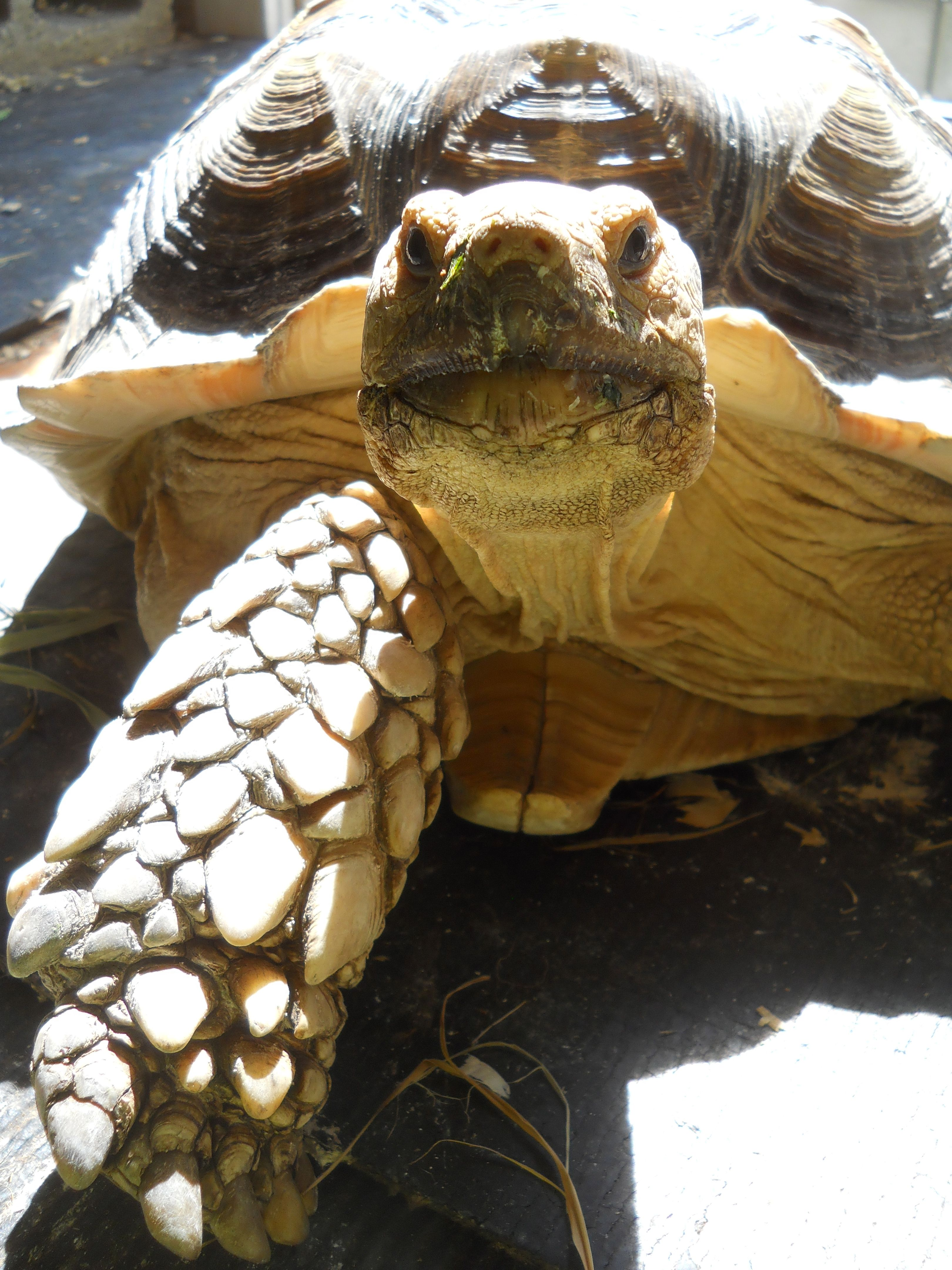 sulcata tortoise | the old ones | Pinterest | Tortugas, Tortugas ...