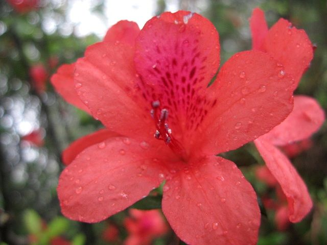File Red Azalea Flower Up Close Shot Jpg Azalea Flower Flower Meanings Flowers