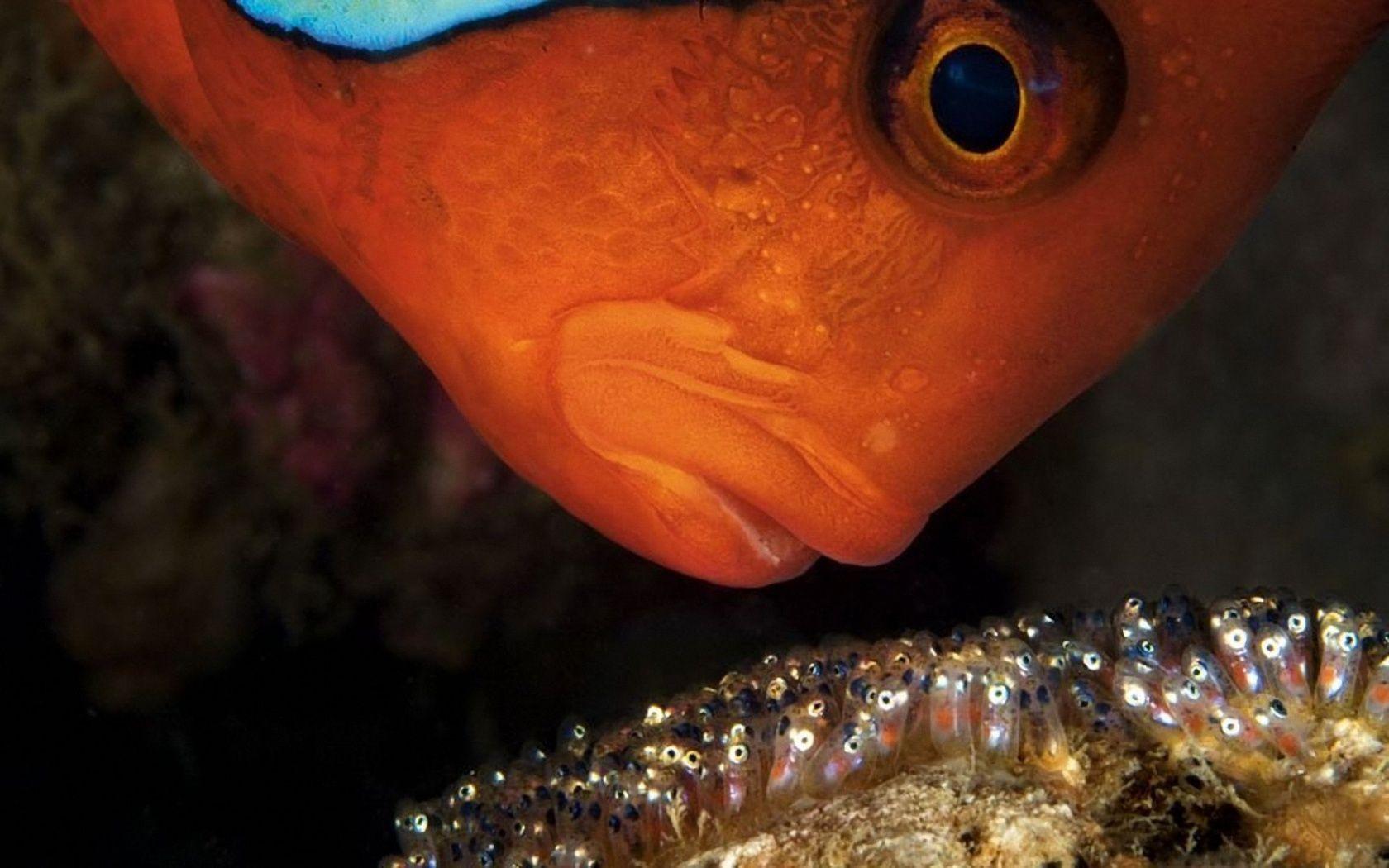 1680x1050 Gold Fish desktop PC and Mac wallpaper | Fish | Pinterest ...