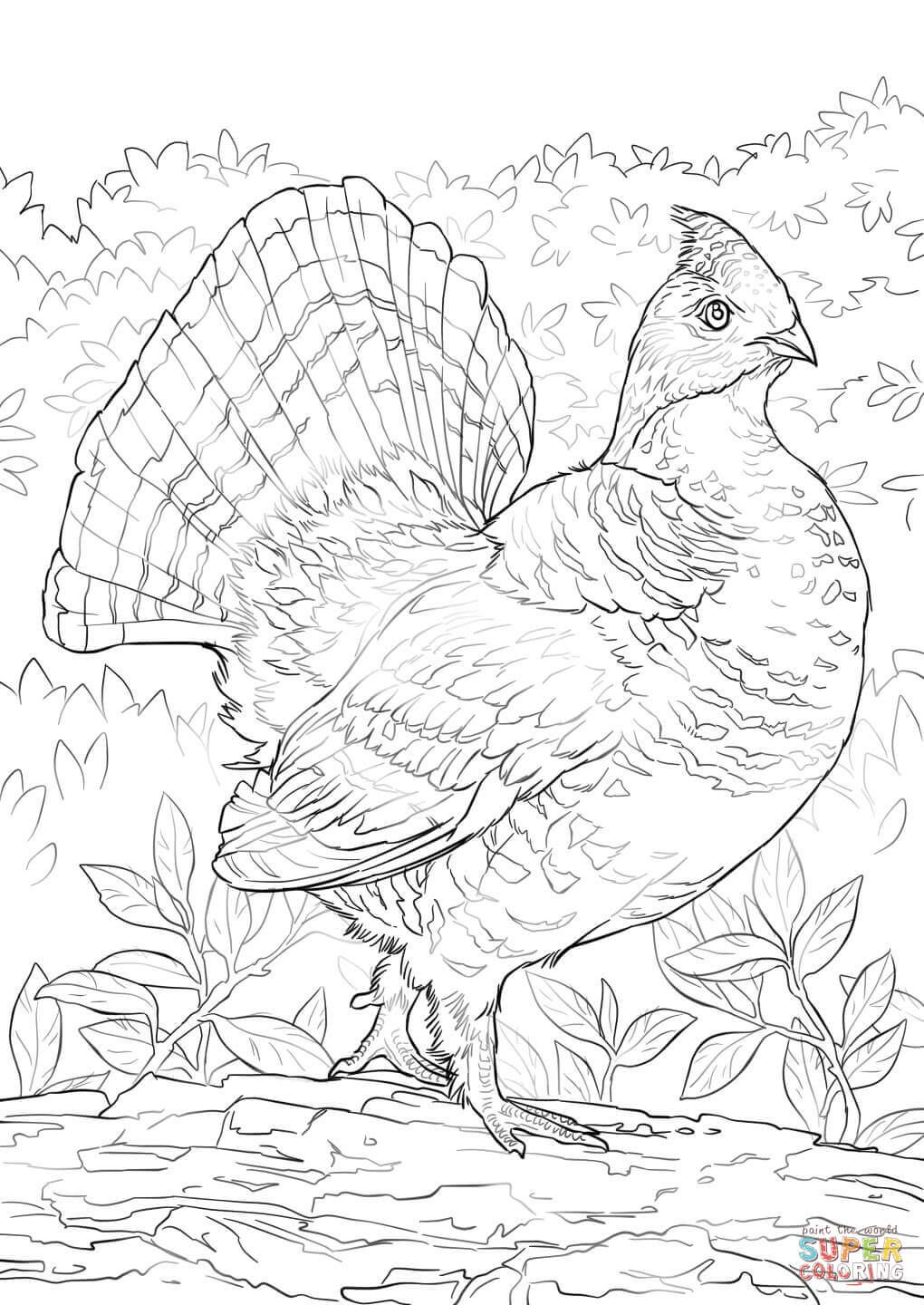 Ruffed Grouse Coloring Page Free Printable Coloring Pages Bird