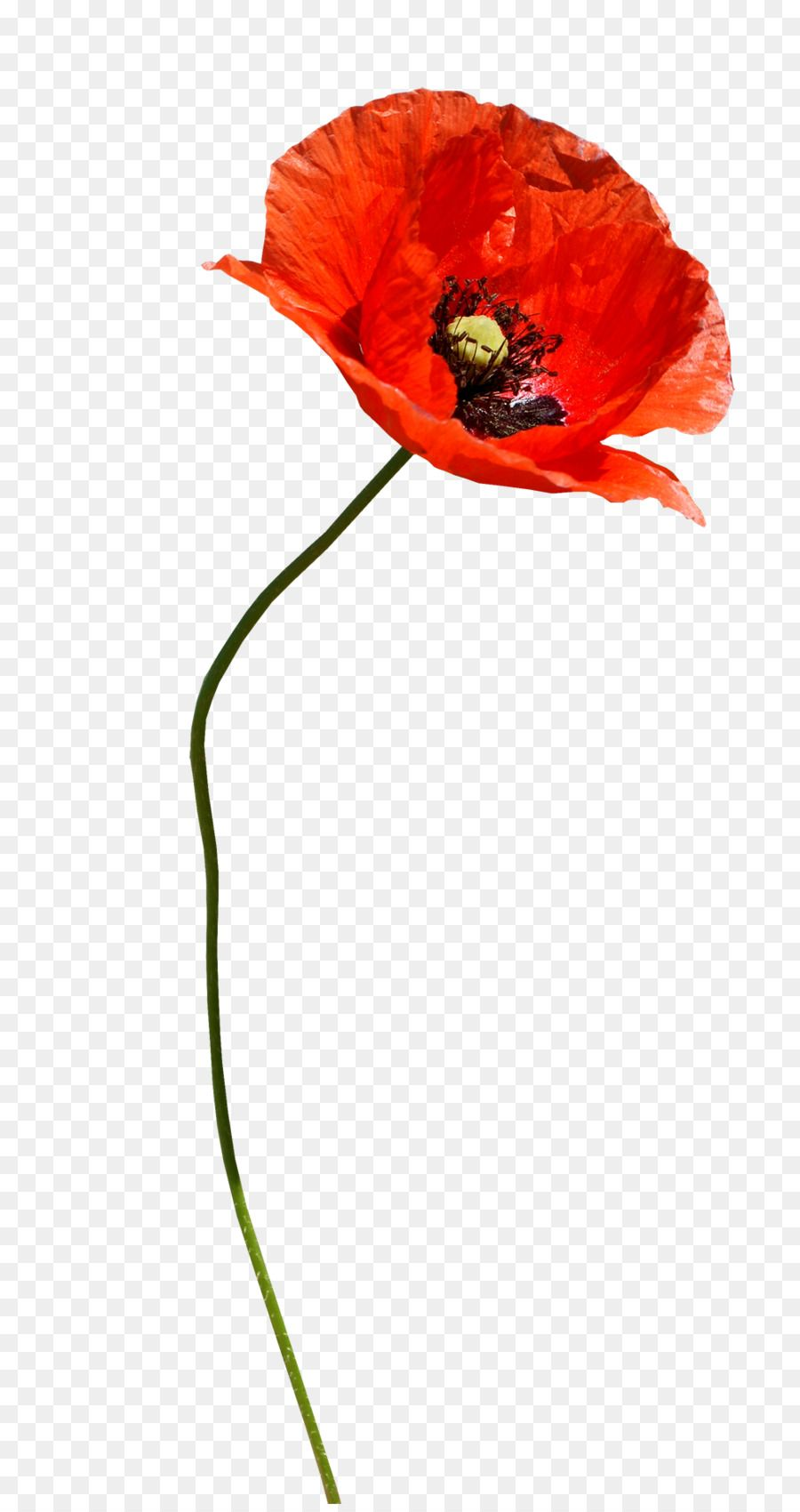 Common Poppy Plant Png Download 1011 1900 Free Transparent Flower Painting Watercolor Flowers Flower Backgrounds