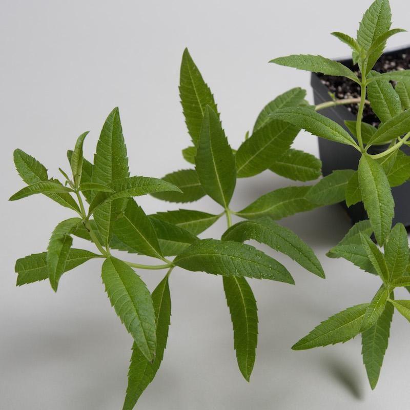 Lemongrass Lemongrass Plant Lemon Verbena Plant Planting Herbs