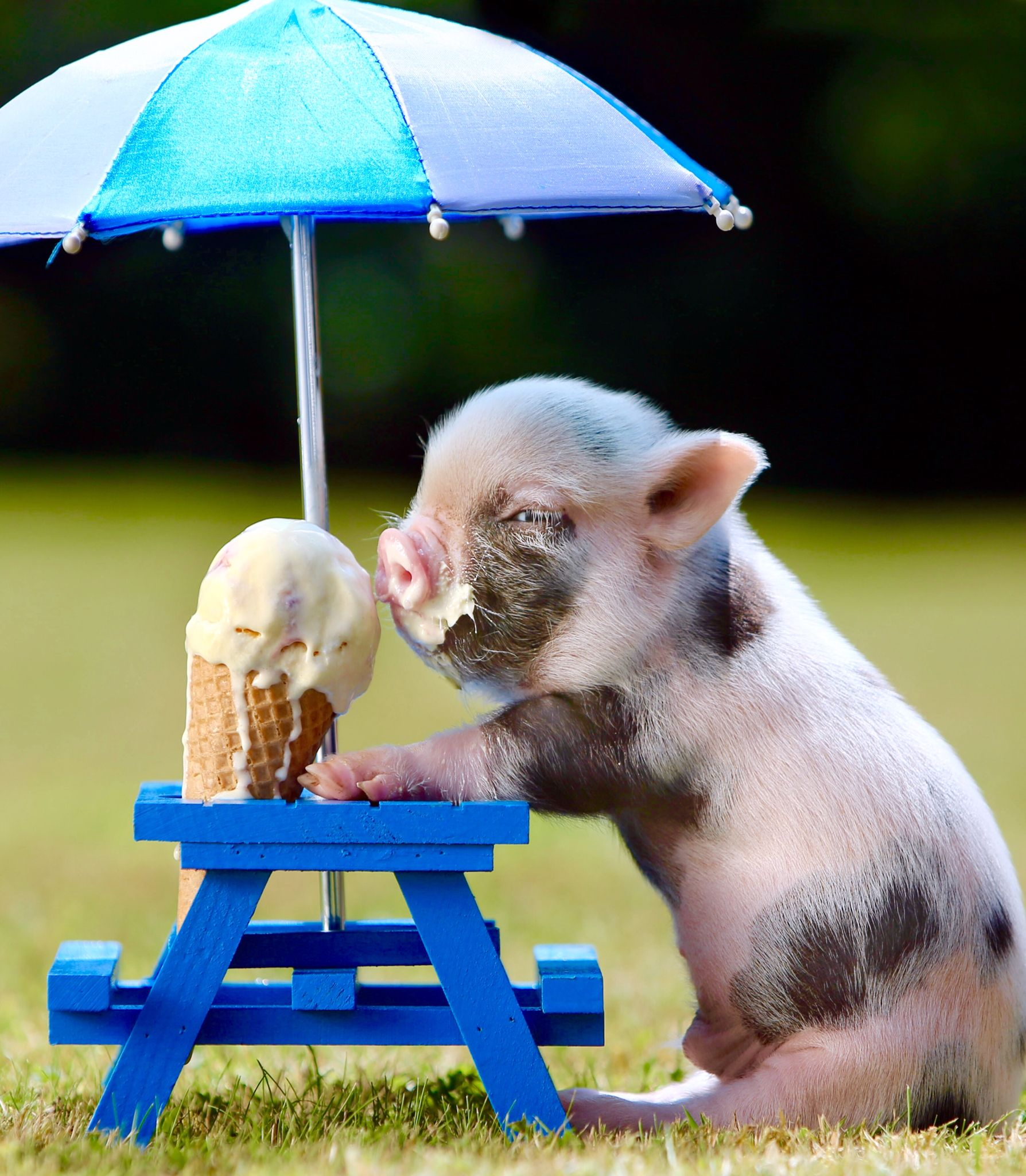 Pig eating ice cream Cute animals, Cute baby animals