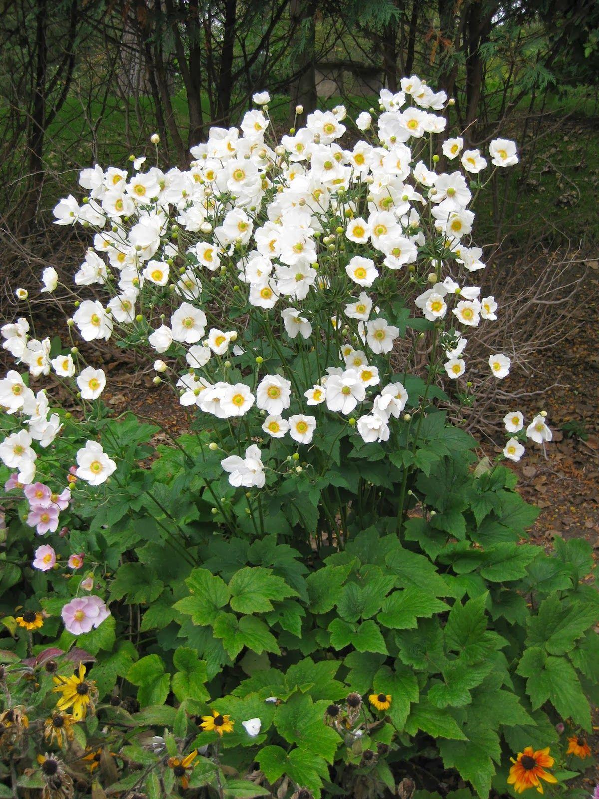 Rotary Botanical Gardens Hort Blog The Moonlit Garden Herbaceous Perennials Shade Garden Plants Plants