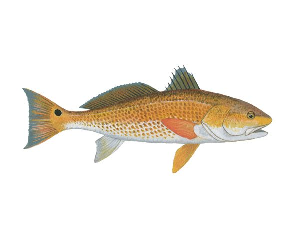Red fish robertheitkamp redfishillustration florida for Red saltwater fish