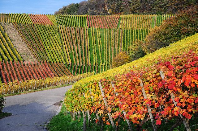 Weinberg in Herbstfarben - Germany Vineyard by Habub3, via Flickr