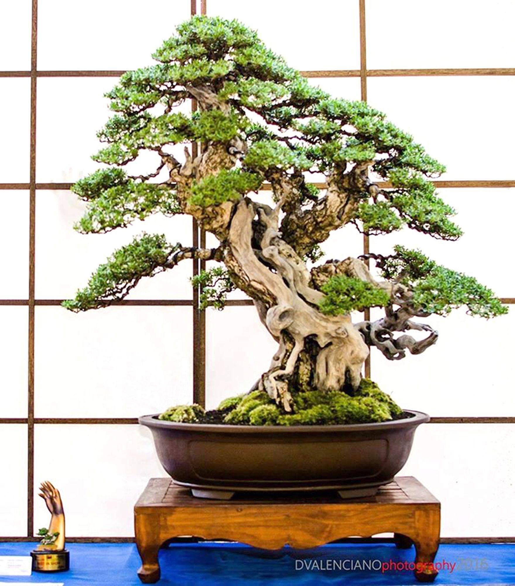 Bonsai Tree 20 Astonishing York Bonsai Inspirations Cherry Blossom Bonsai Tree Bonsai Plants For Sale Bonsai Trees For Sale