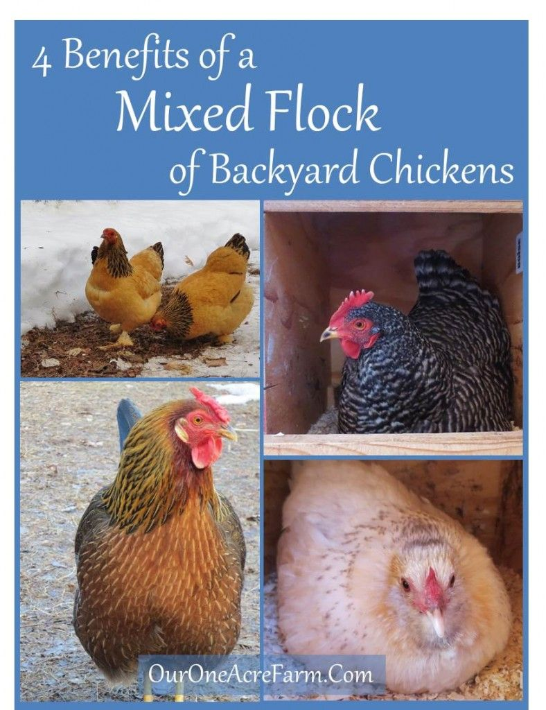 4 Benefits of a Mixed Flock of Backyard Chickens ...