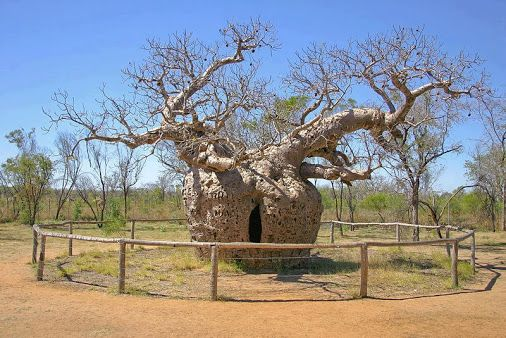Baobab tree prison in Australia The Boab Prison Tree, Derby is a large hollow…