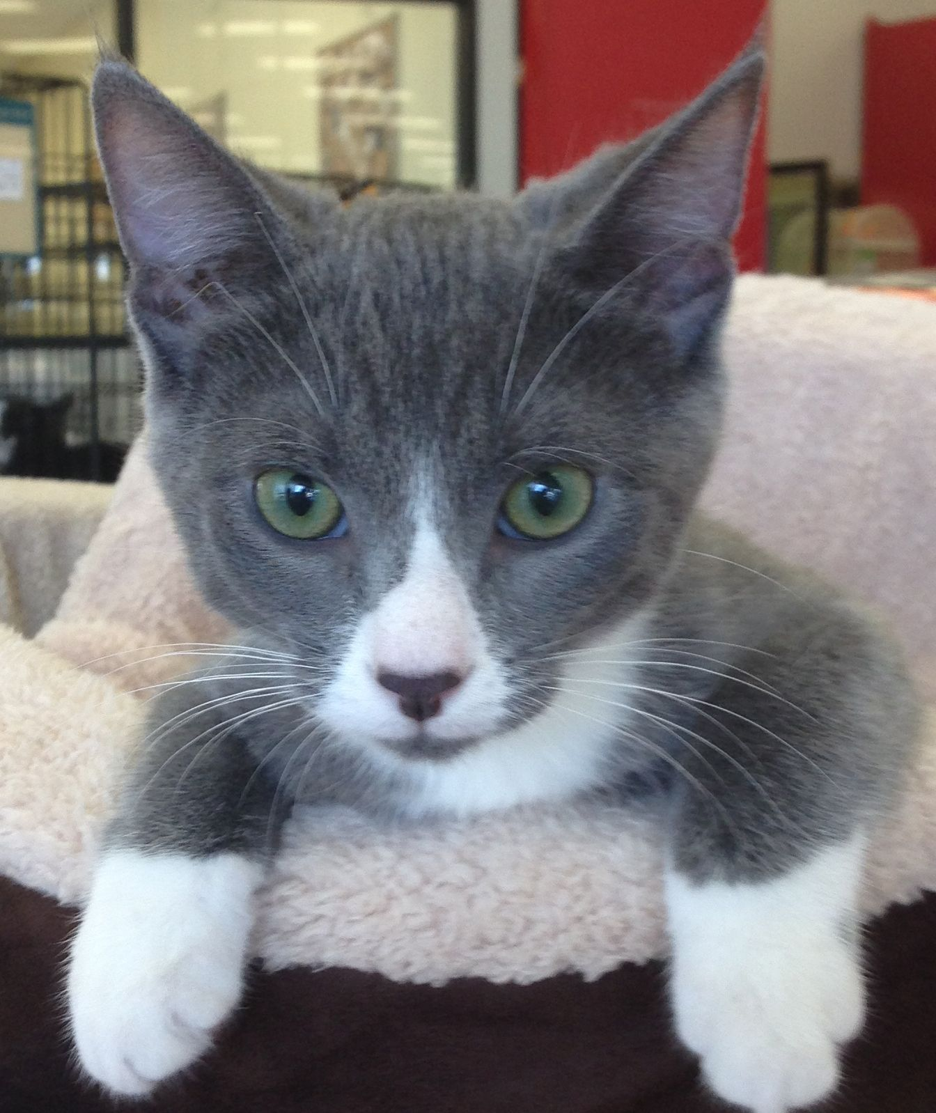 Sheldon Is A Precocious 5 Month Old Kitten He Loves To Play Wrestle Talk And Then Snuggle He Is Neutered Vaccinated An Animal Welfare League Pets Cute Animals