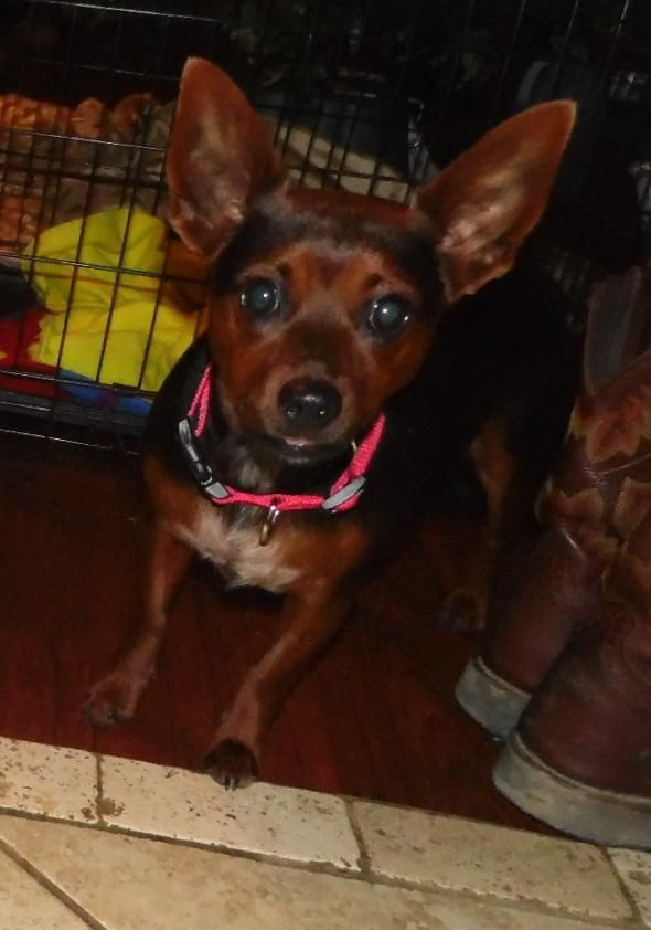 Robin is an adoptable Dachshund Dog in Mooresville, IN Robin is a sweet little girl she loves to be in the bed and on the couch with you she is great  ... ...Read more about me on @petfinder.com