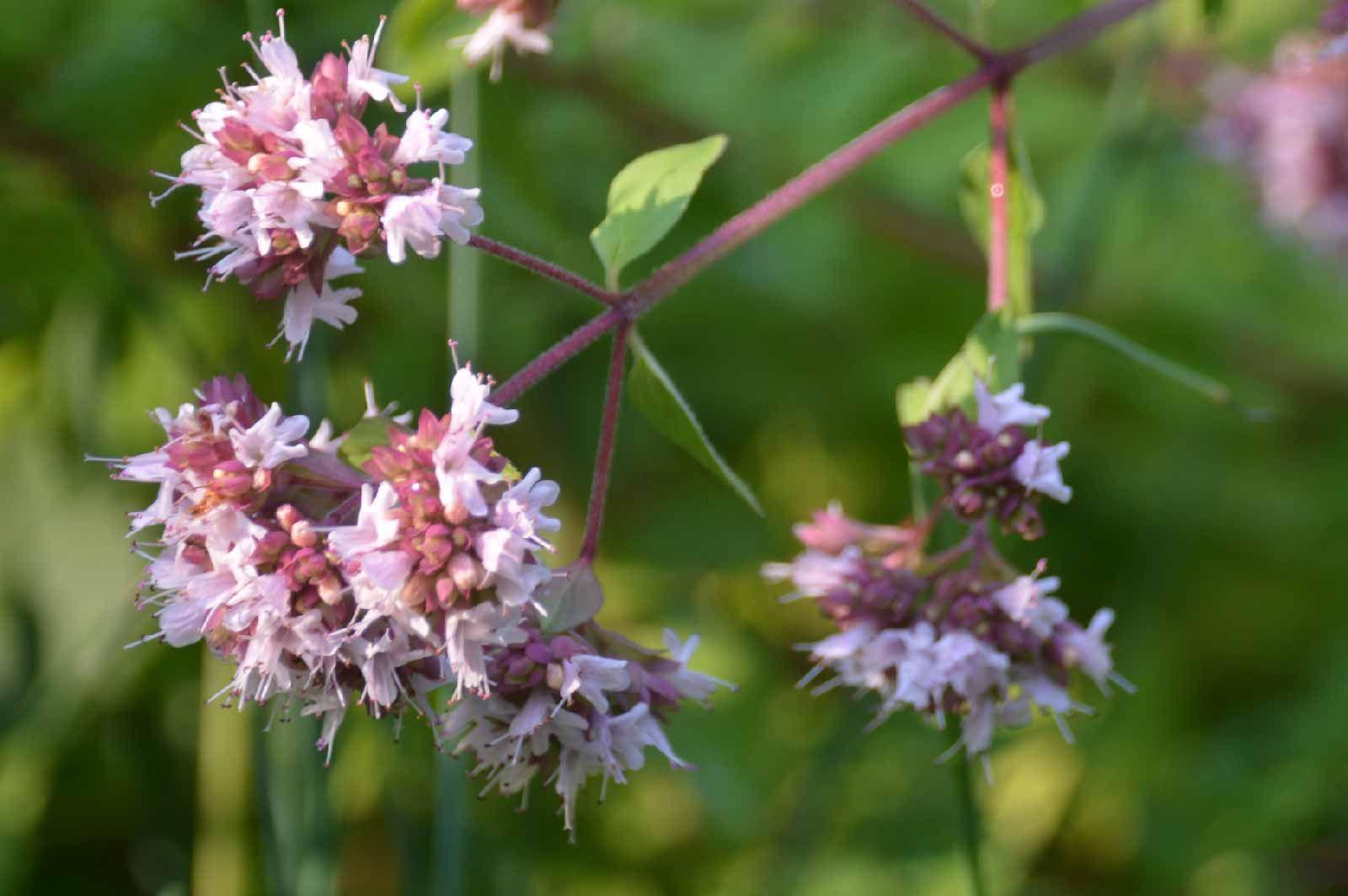 甜馬鬱蘭精油 (傳統栽種) 優惠 (至10月25日止) | Plants, Garden