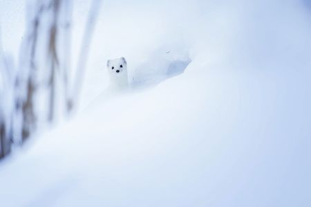 Hermine dans la neige Photo by Alexia Burille -- National Geographic Your Shot