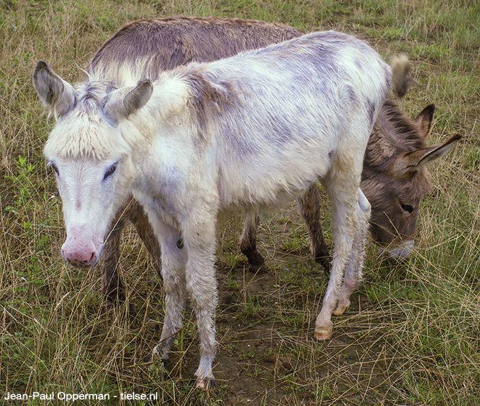 Witte en bruine ezel langs de Rivierenlandlaan in Tiel.