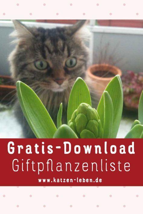Hier kannst du dir die Top 10 der beliebtesten und am meisten verbreiteten Giftpflanzen als PDF herunterladen. Das wurde ich schon häufiger gefragt: Welche giftigen Pflanzen sollten nicht auf den Katzenbalkon? Welche grundsätzlich nicht in das Umfeld der Katze? #Katzenpflanzen #Giftpflanzen #Katzenbalkon #Katzengras #Katzenminze #Ruthenfranz #Gratis #Download #Katze #katzengeburtstag