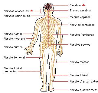 Cuerpo Y Sus Partes Del Sistema Nervioso Sistema Nervioso Periferico Sistema Nervioso Sistema Nervioso Central