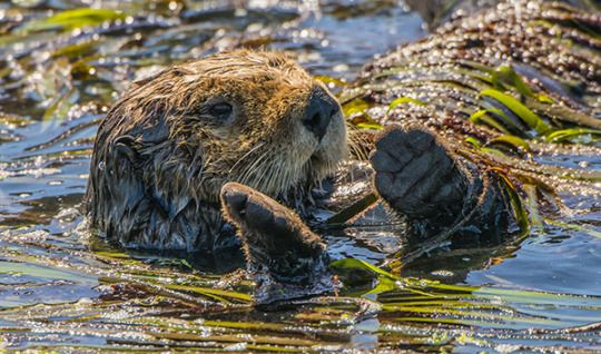 Sea Otter Needs A Friend To Play Kelp Cat S Cradle With Her The Daily Otter Sea Otter Otters Animals Are Beautiful People