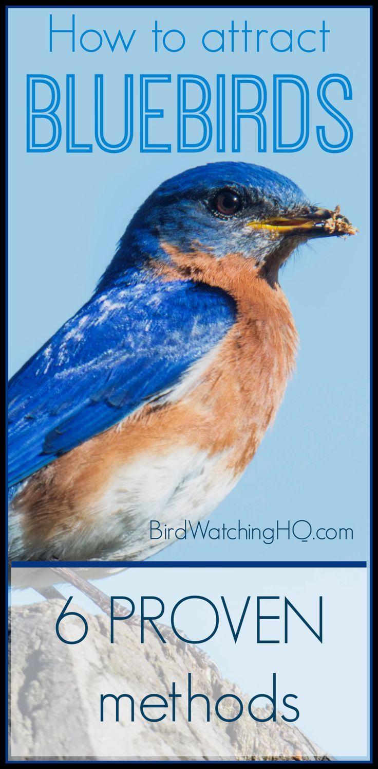 How to attract bluebirds 6 proven tips 2021 bird