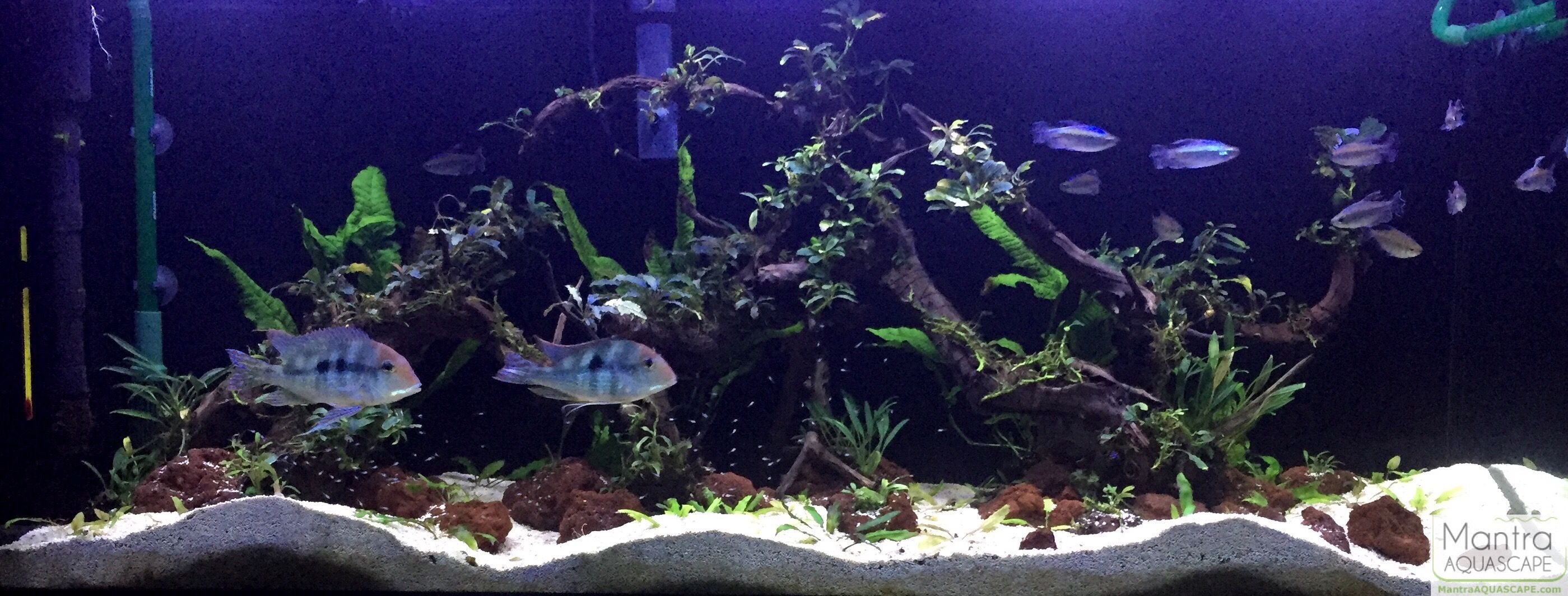 cichlid forum geophagus rht and congo tetra planted tank planted