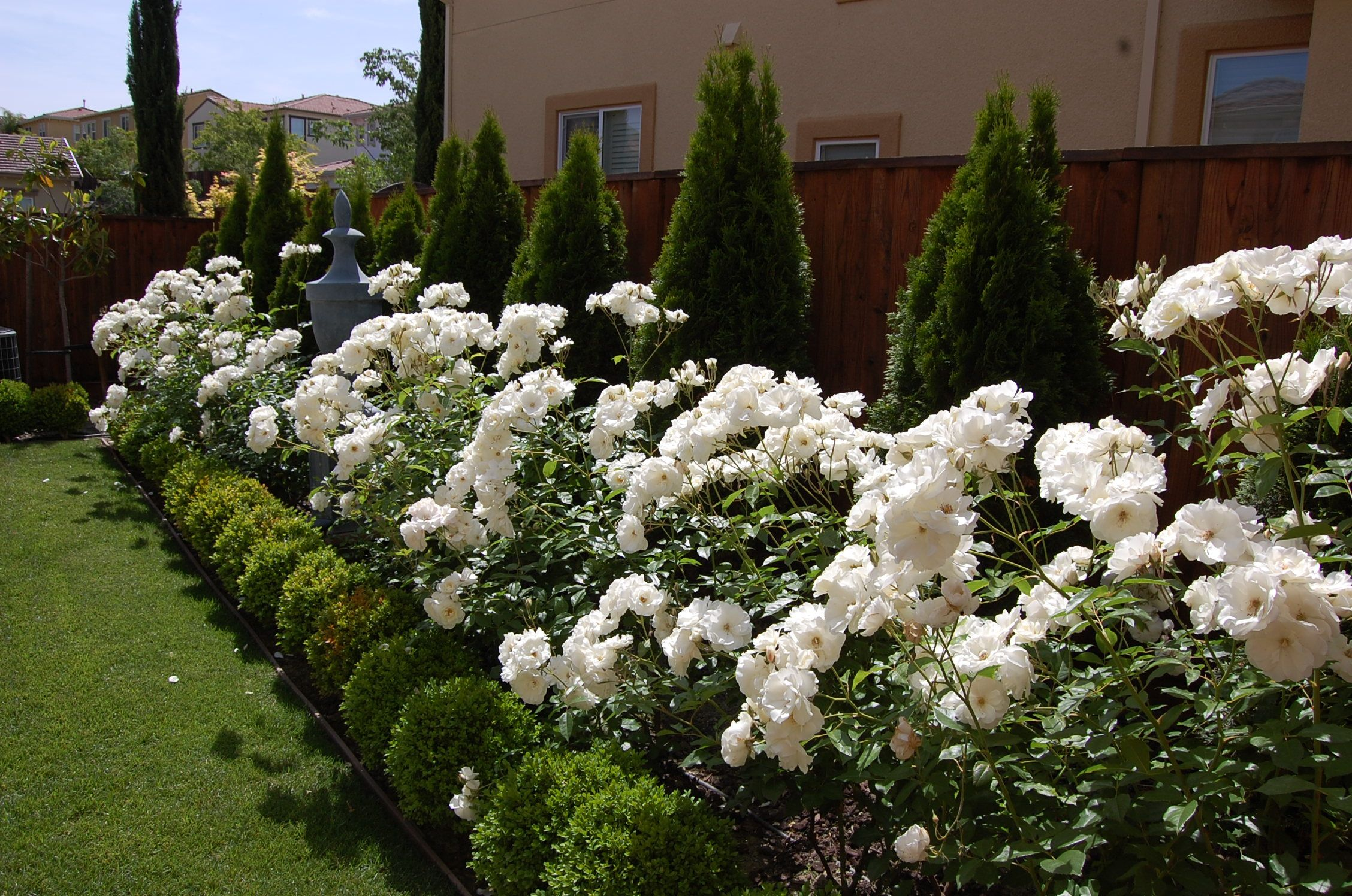 iceberg roses Landscapes Pinterest Rose Gardens and Landscaping
