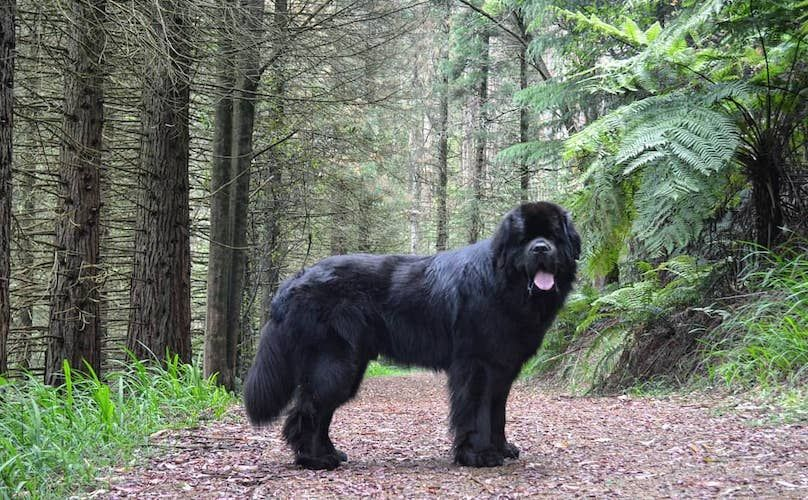 Newfoundland Dog Breed Information Guide Quirks Pictures Personality Facts Newfoundland Dog Dog Breeds That Dont Shed Newfoundland Dog Funny
