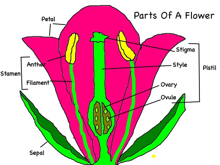 Flower Parts Diagrams Parts of a flower, Diagram of a