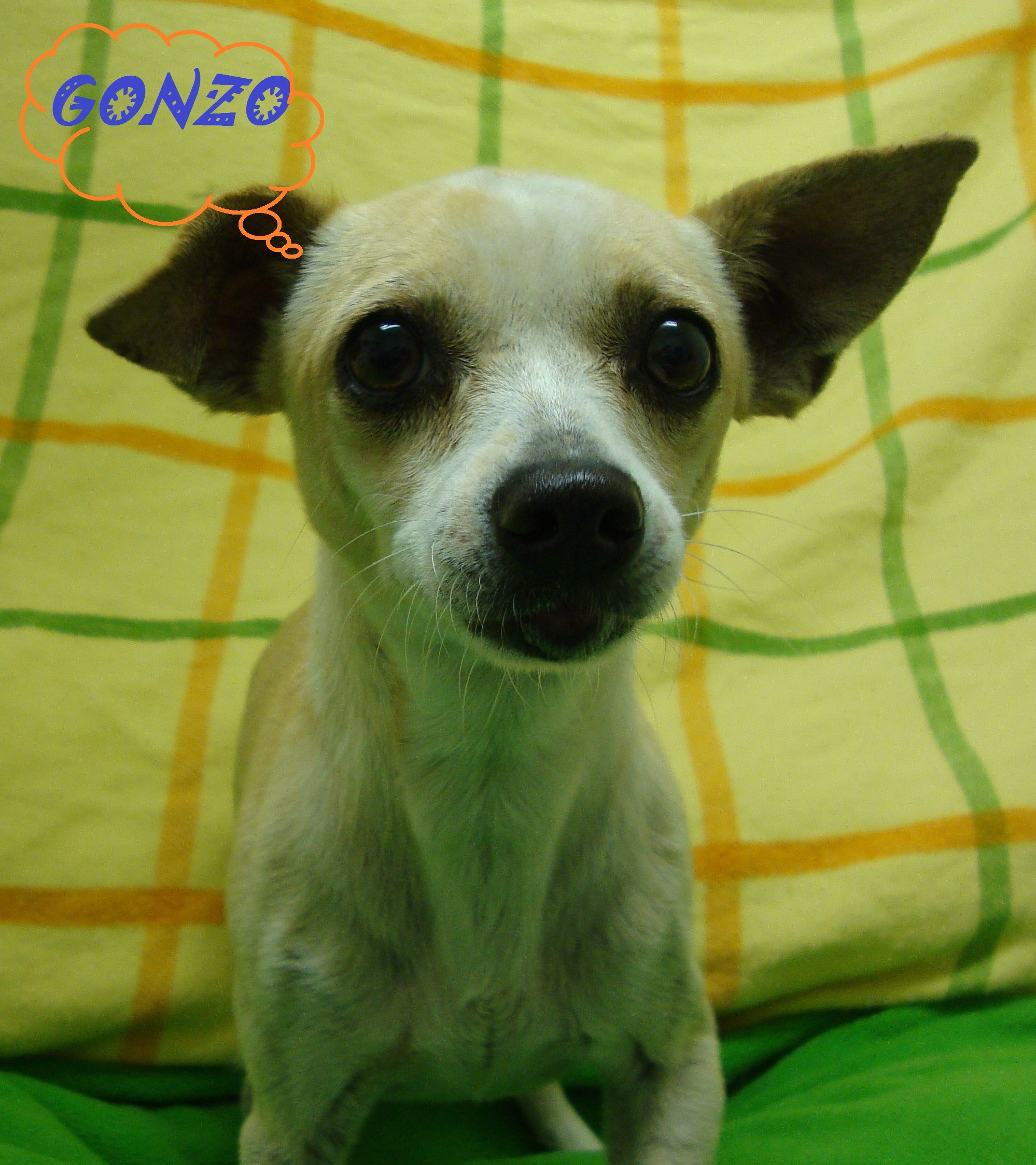 Gonzo Is An 8 Year Old Chihuahua Mix From California He Has Been