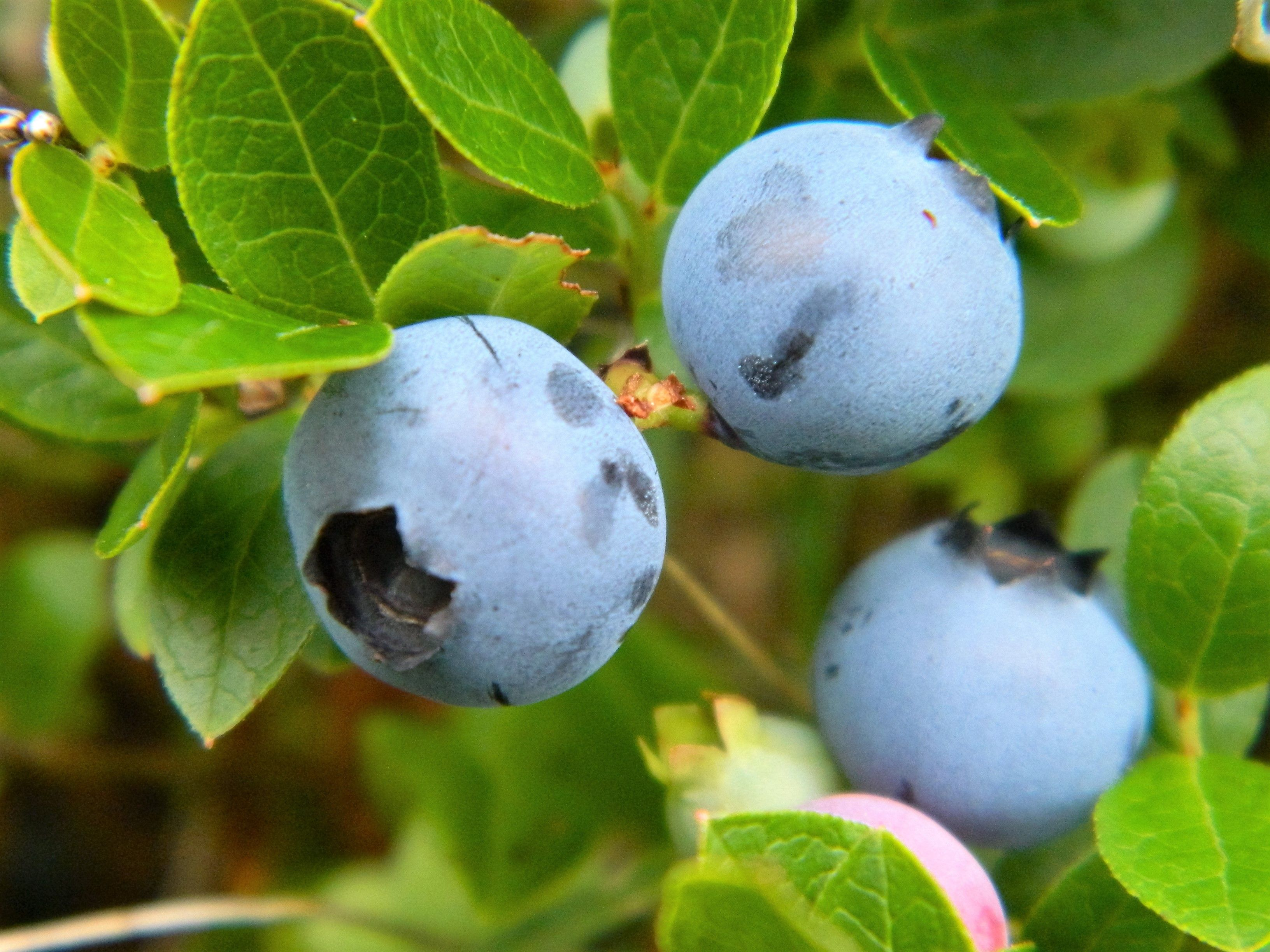 Blueberries in the wild