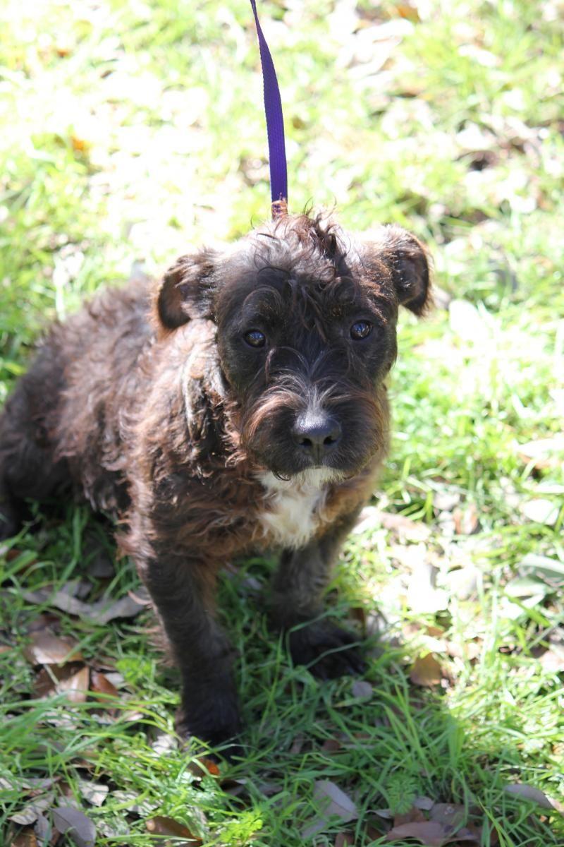 Adopt Bishop On Schnauzer Dogs Terrier Mix Dogs Border Terrier