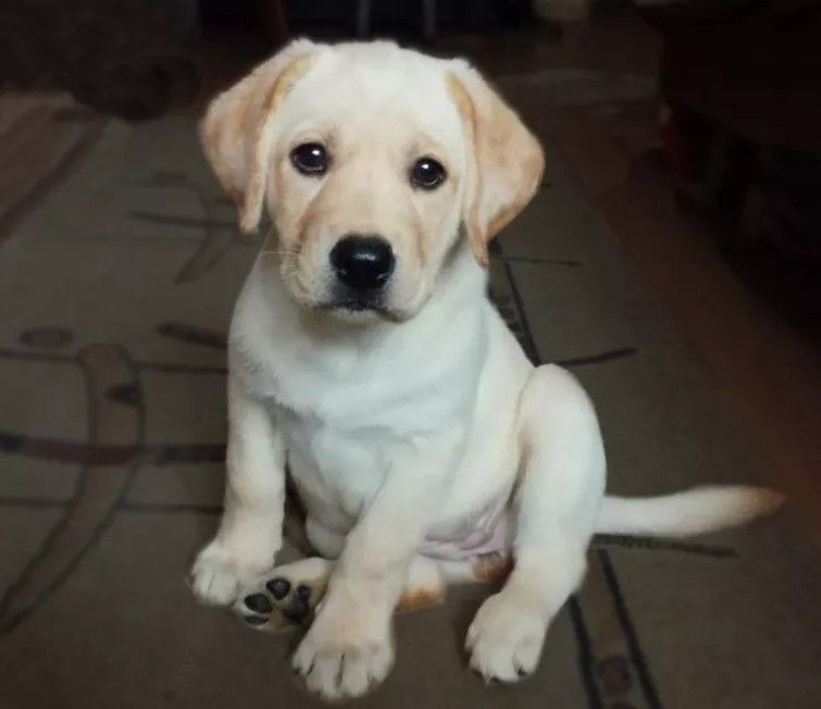 60 Male Labrador Dog Names Labrador Puppy Labrador Labrador Dog