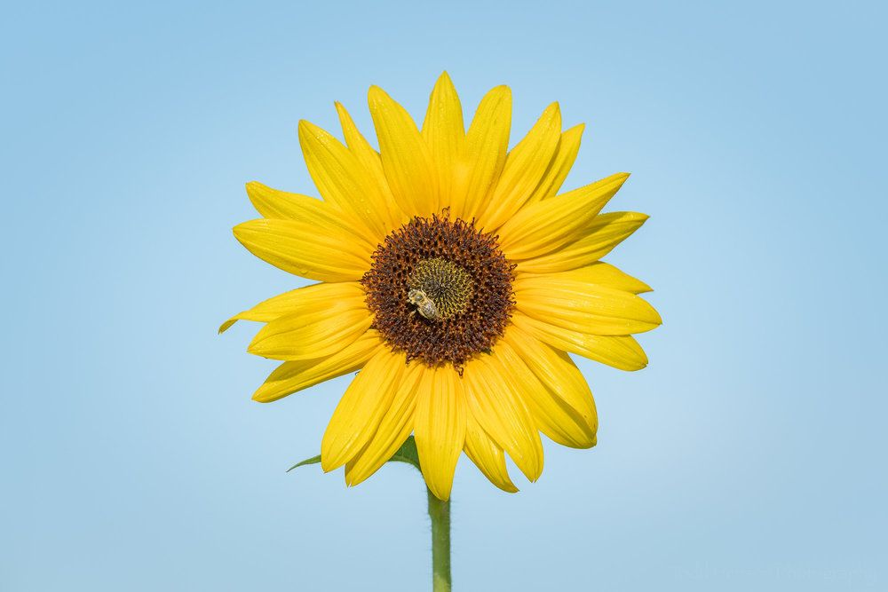 Image Result For Young Sunflower Images Sunflower Images Sunflower Image