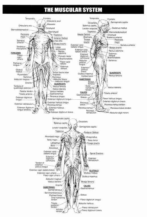 Skeletal System Worksheet Pdf New Skeletal System ...