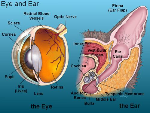 Cat Eye Ear Anatomy Veterinary Medicine Pinterest Cats