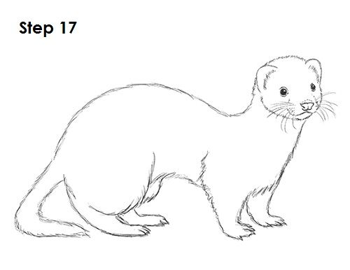 How To Draw A Ferret Cute Ferrets Animal Sketches