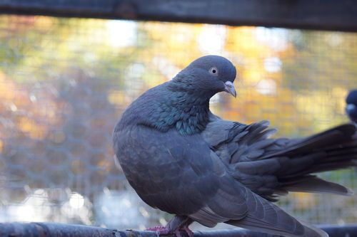 Basic Pigeon Care - Feeding And Housing | Pet pigeon ...