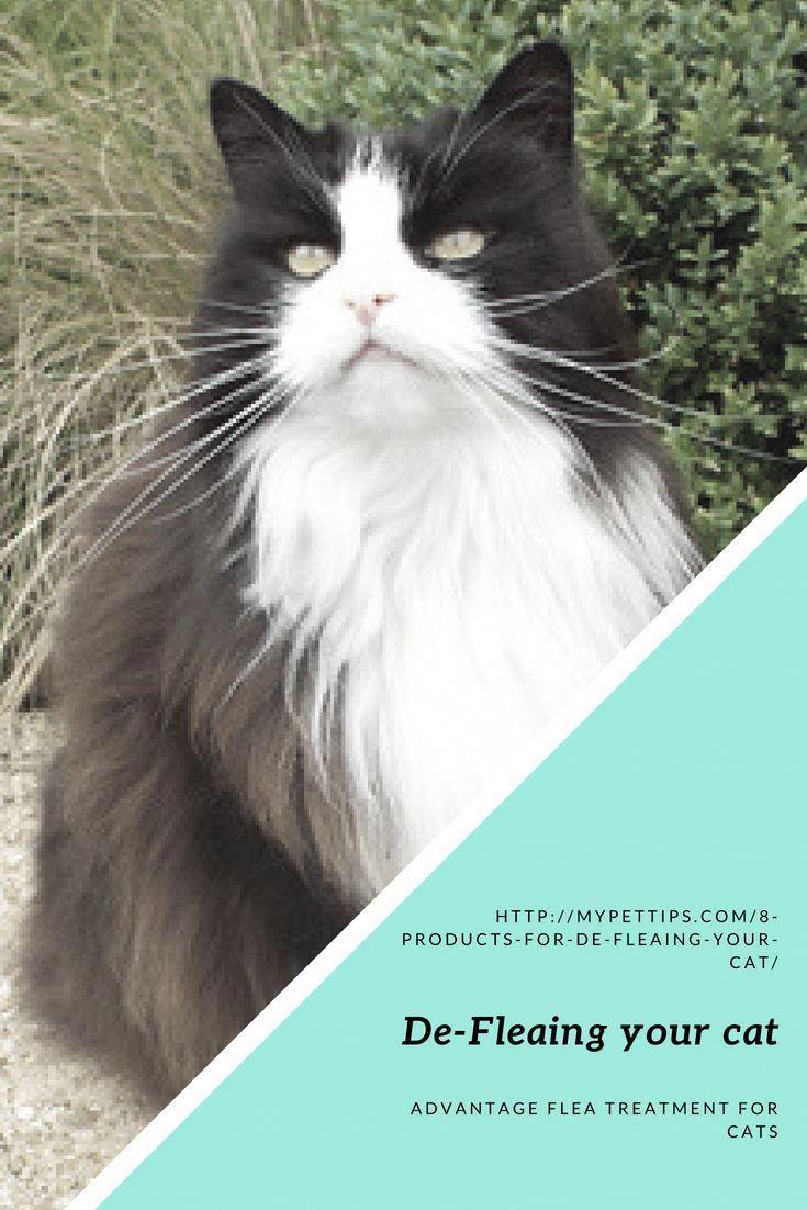 Cats Craigslist CatsLLysine MaineCoonCats Cats, Angora