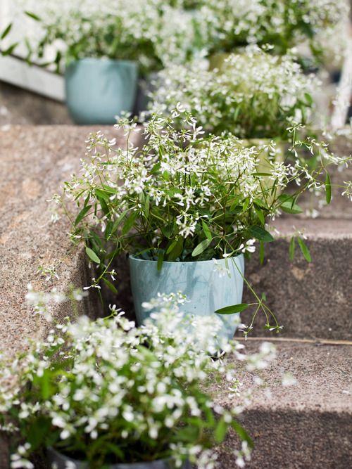 jasmin en pot ou arbuste fleurs en pot d ext rieur mimosa etc. Black Bedroom Furniture Sets. Home Design Ideas
