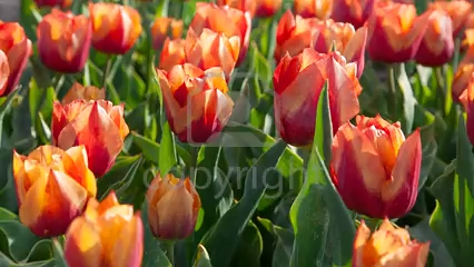 Pin On Tulip